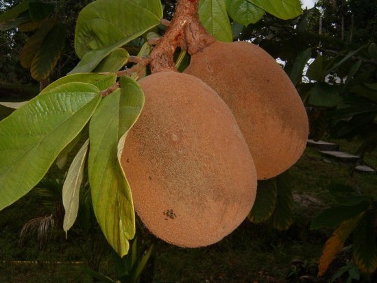 Actif naturel beurre de Cupuacu