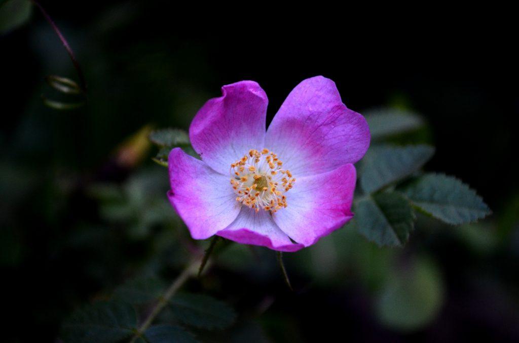 rose musquee