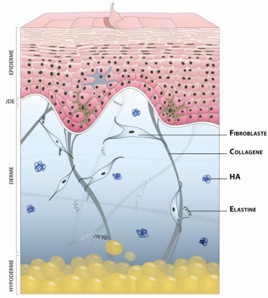 redensification de l'eau dermique